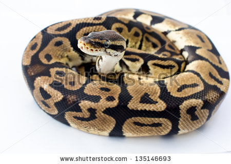 Ball Python clipart #12, Download drawings
