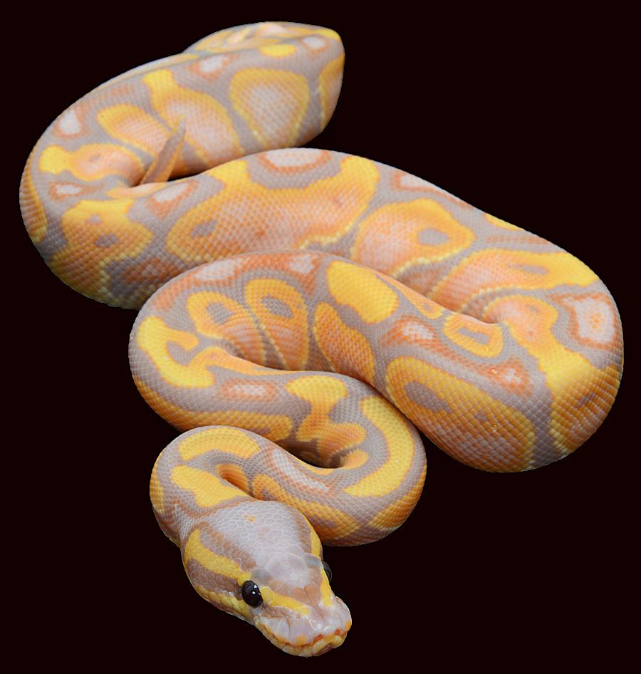 Ball Python coloring #9, Download drawings