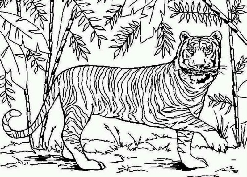 Sumatran Tiger coloring #2, Download drawings