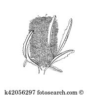 Banksia clipart #13, Download drawings