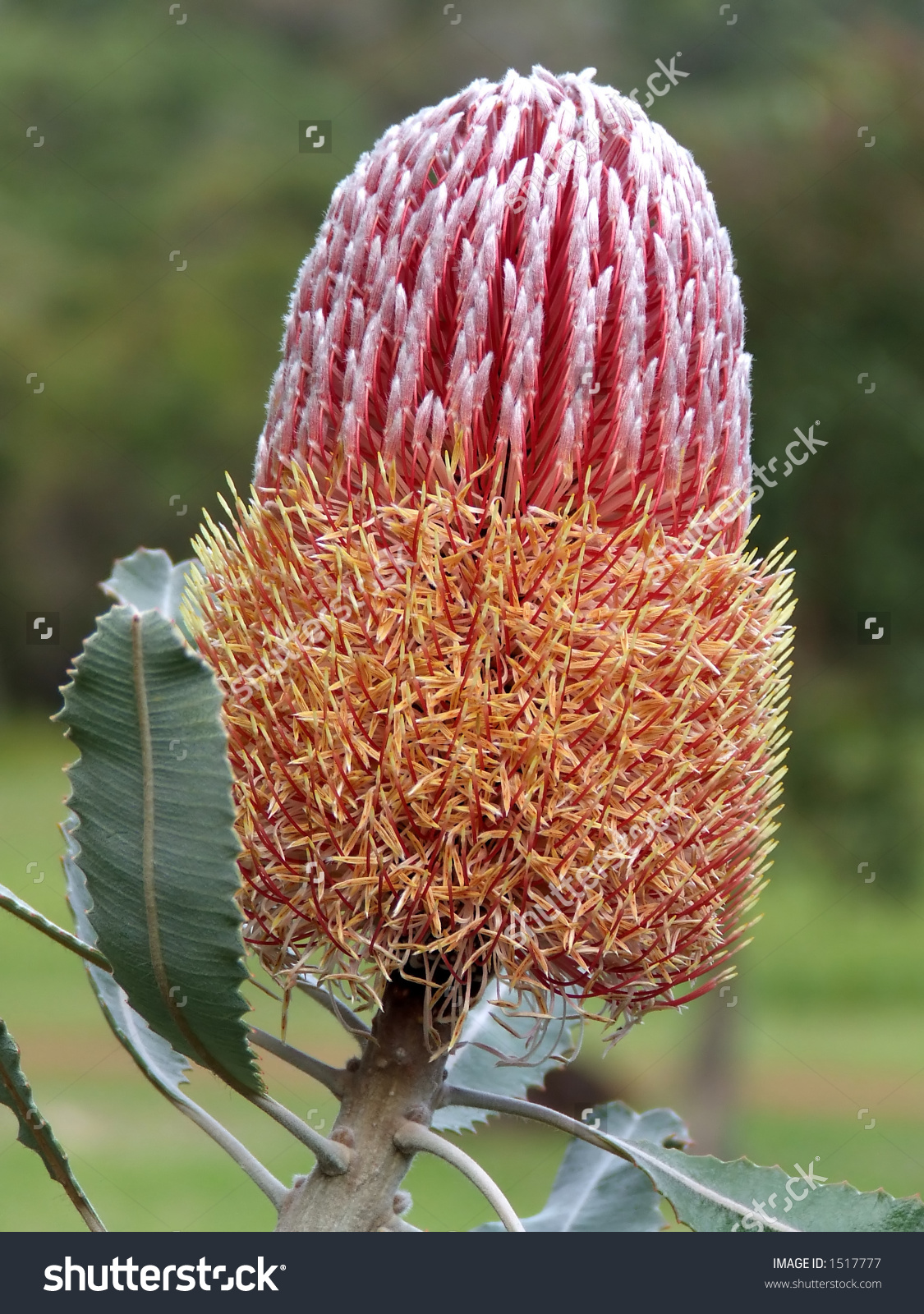 Banksia clipart #3, Download drawings