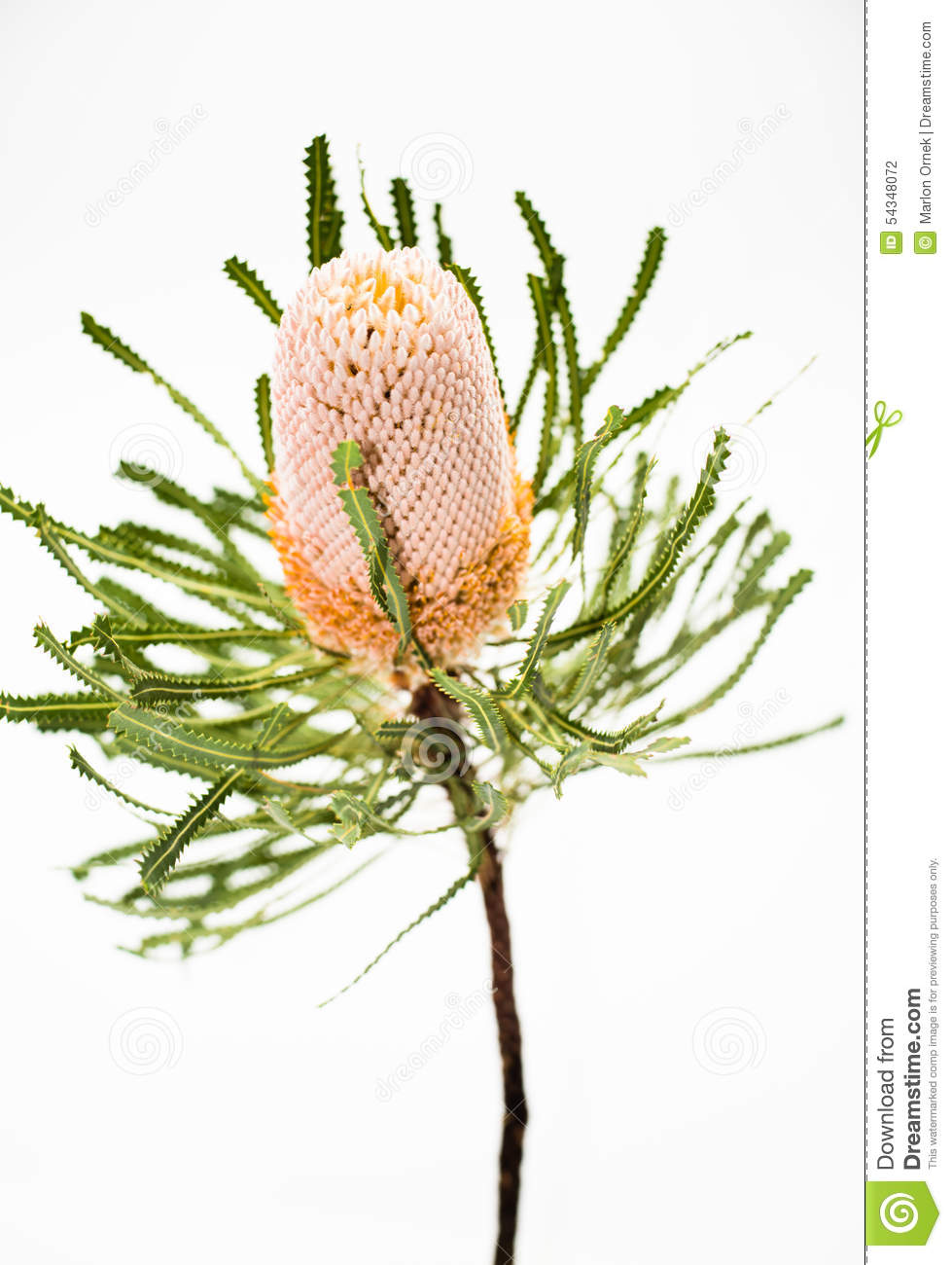 Banksia clipart #8, Download drawings