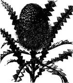 Banksia clipart #11, Download drawings