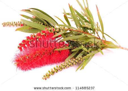 Banksia clipart #18, Download drawings