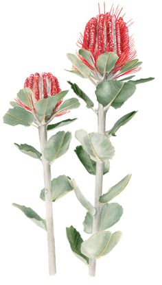 Banksia clipart #16, Download drawings