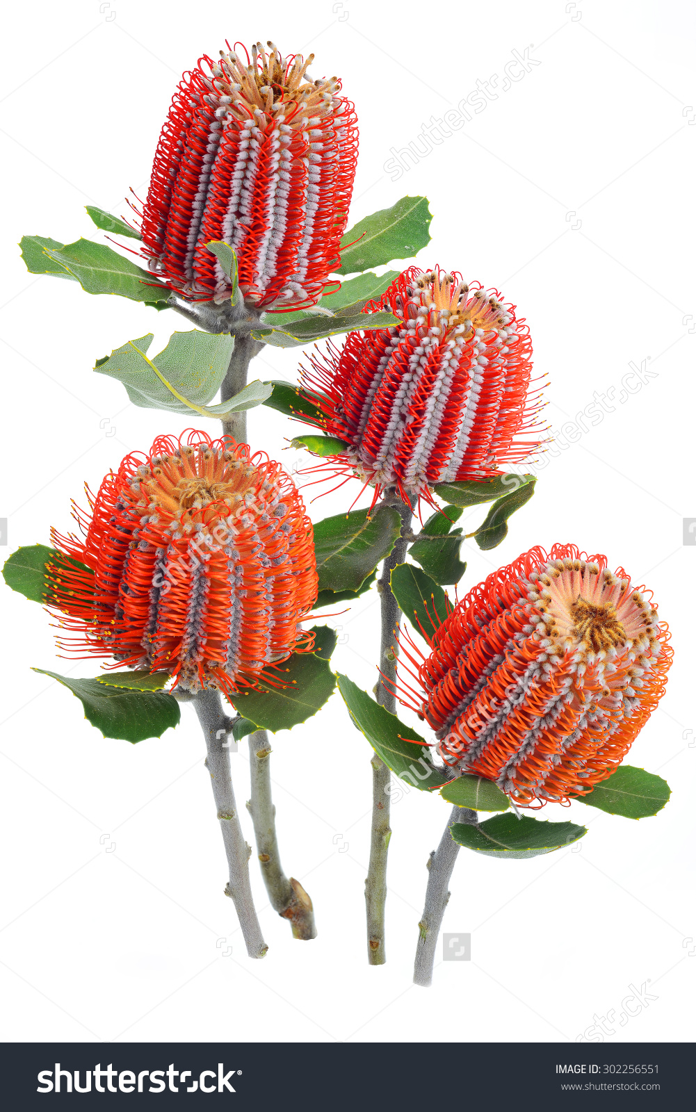 Banksia clipart #2, Download drawings