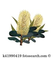 Banksia clipart #17, Download drawings