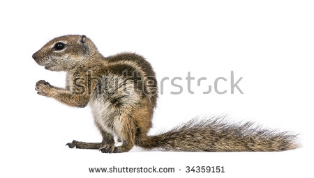 Barbary Ground Squirrel clipart #7, Download drawings