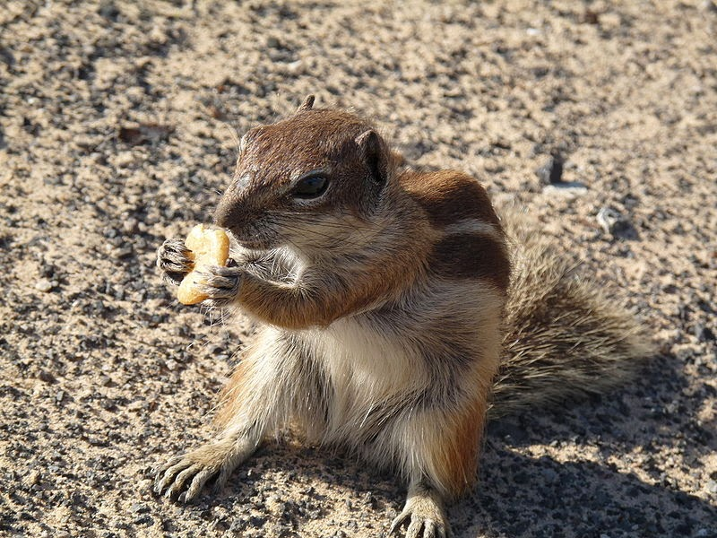 Barbary Ground Squirrel clipart #17, Download drawings