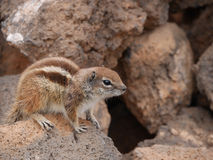Barbary Ground Squirrel clipart #15, Download drawings