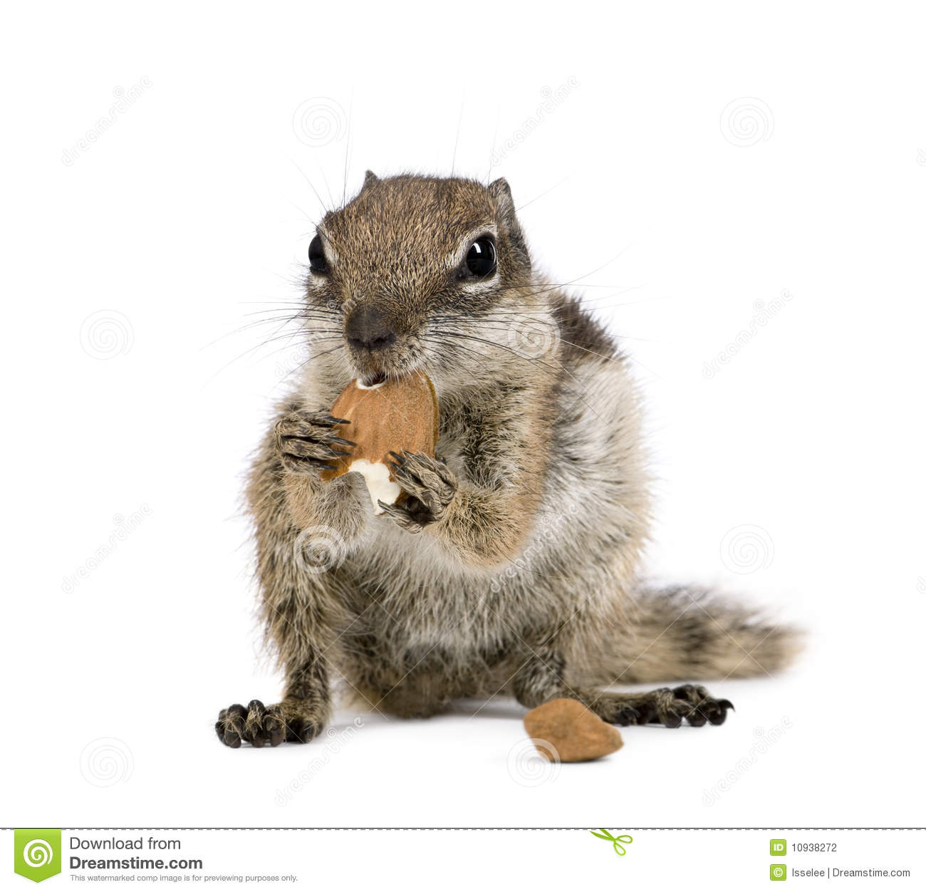Barbary Ground Squirrel clipart #10, Download drawings