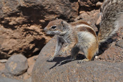 Barbary Ground Squirrel clipart #14, Download drawings
