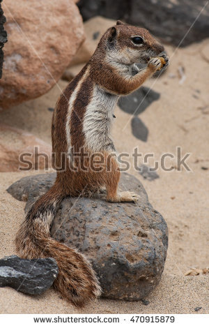 Barbary Ground Squirrel clipart #8, Download drawings