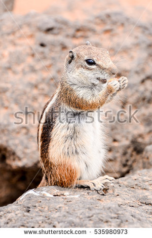 Barbary Ground Squirrel clipart #6, Download drawings