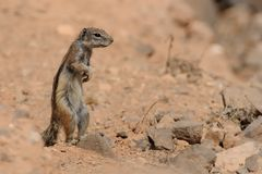 Barbary Ground Squirrel clipart #9, Download drawings