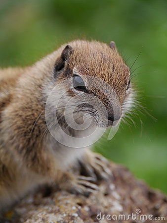 Barbary Ground Squirrel clipart #1, Download drawings