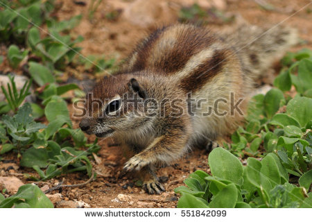 Barbary Ground Squirrel clipart #3, Download drawings
