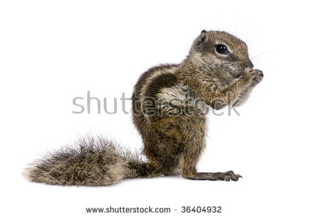 Barbary Ground Squirrel clipart #20, Download drawings
