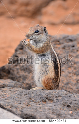 Barbary Ground Squirrel clipart #19, Download drawings