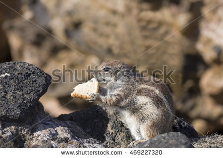 Barbary Ground Squirrel clipart #18, Download drawings