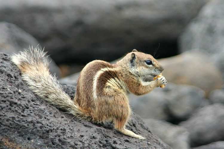 Barbary Ground Squirrel clipart #2, Download drawings