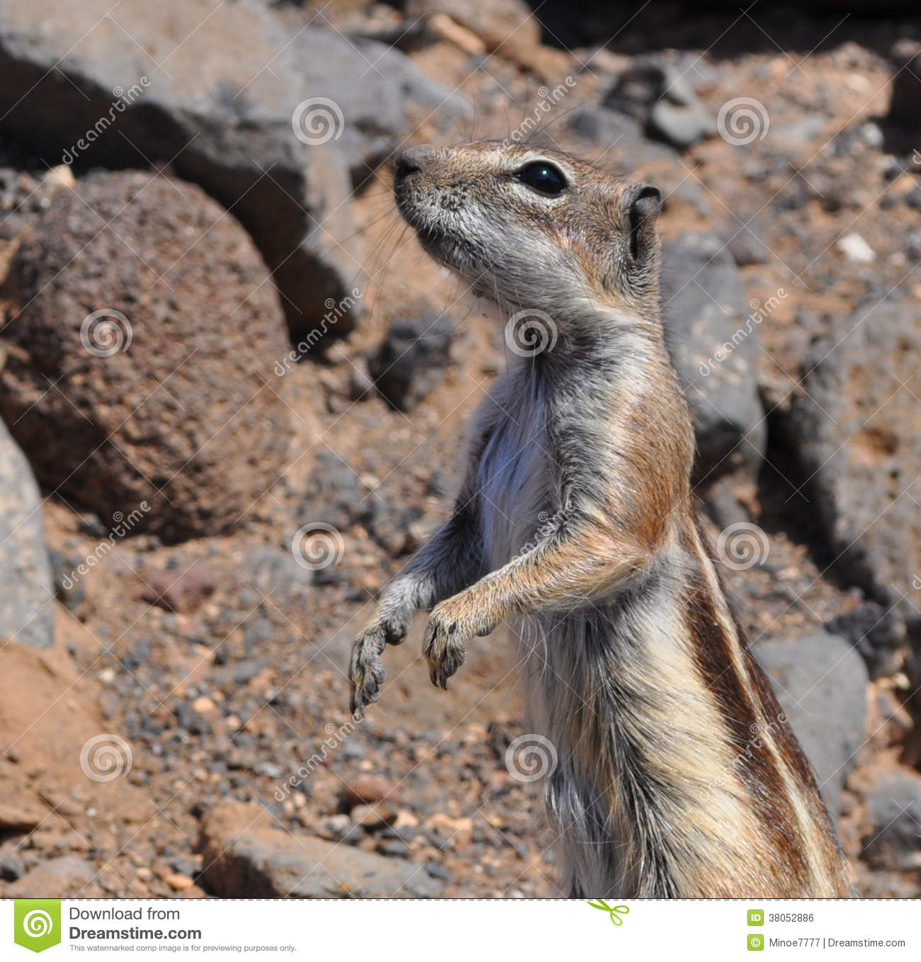 Barbary Ground Squirrel clipart #13, Download drawings