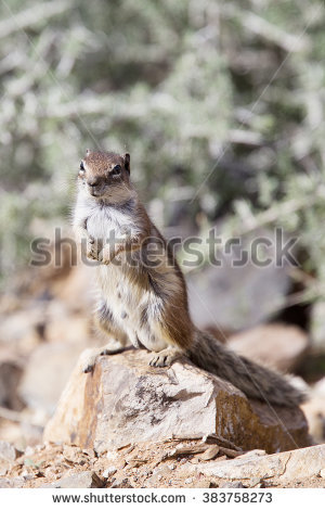 Barbary Ground Squirrel coloring #3, Download drawings