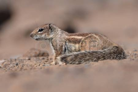 Barbary Ground Squirrel coloring #5, Download drawings