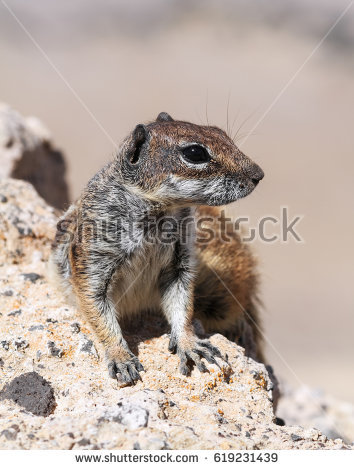 Barbary Ground Squirrel coloring #6, Download drawings