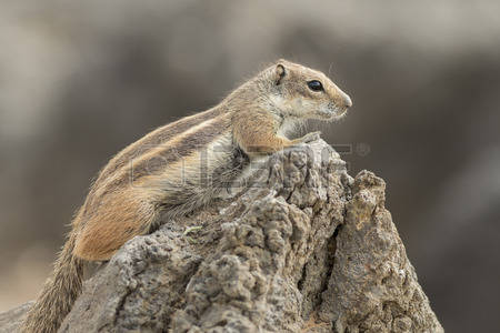 Barbary Ground Squirrel coloring #16, Download drawings