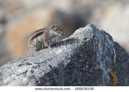 Barbary Ground Squirrel coloring #10, Download drawings