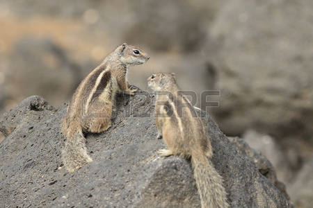 Barbary Ground Squirrel coloring #12, Download drawings