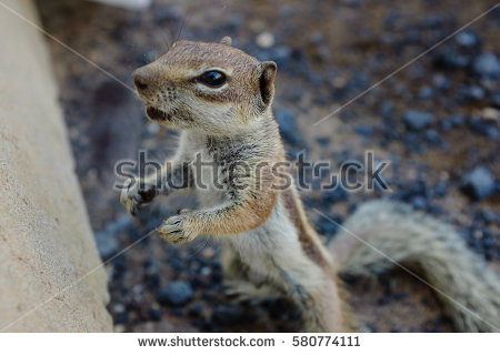 Barbary Ground Squirrel coloring #14, Download drawings