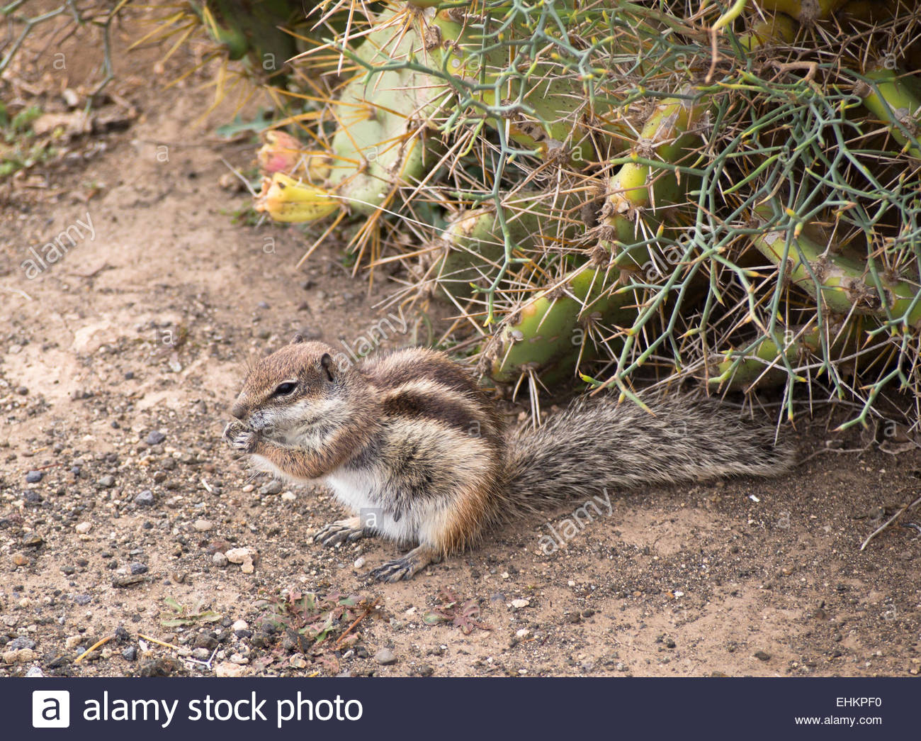 Barbary Ground Squirrel svg #15, Download drawings