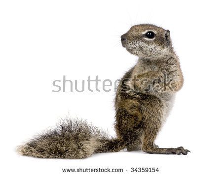 Barbary Ground Squirrel svg #4, Download drawings