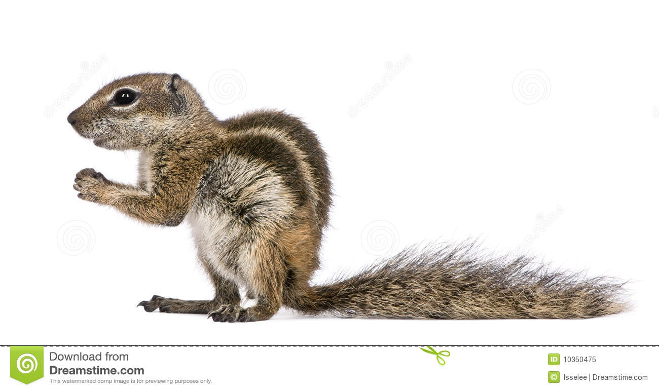 Barbary Ground Squirrel svg #19, Download drawings