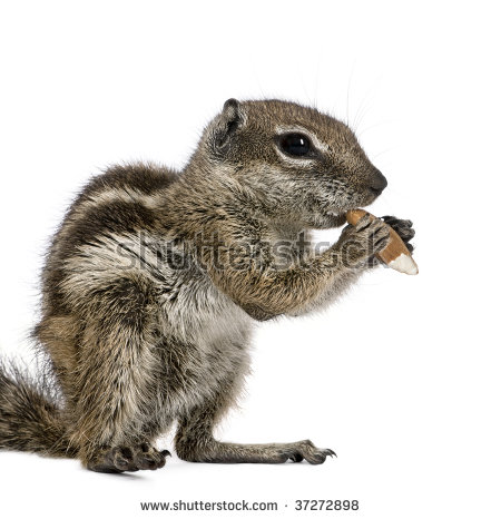 Barbary Ground Squirrel svg #17, Download drawings