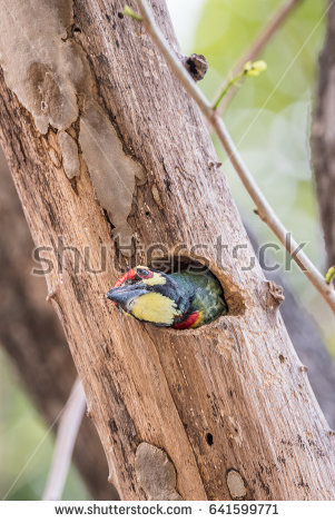 Coppersmith Barbet coloring #13, Download drawings