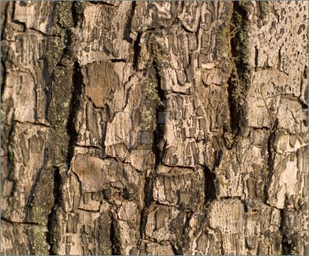 Bark clipart #15, Download drawings