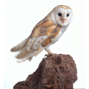 Barn Owl clipart #12, Download drawings