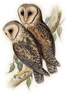 Barn Owl clipart #5, Download drawings