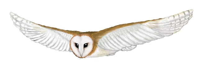 Barn Owl clipart #13, Download drawings