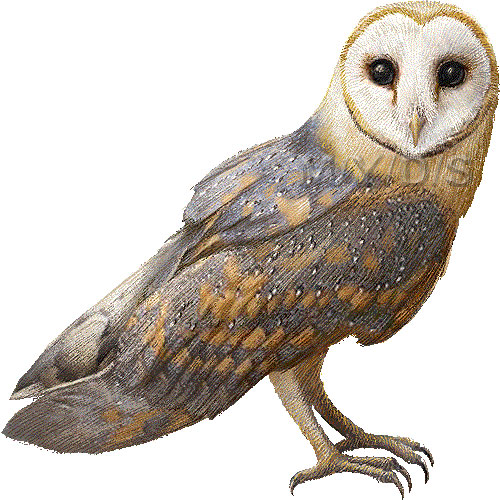 Barn Owl clipart #17, Download drawings