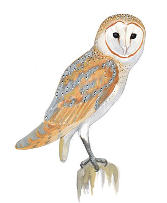 Barn Owl clipart #14, Download drawings