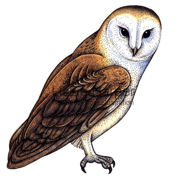 Barn Owl clipart #18, Download drawings