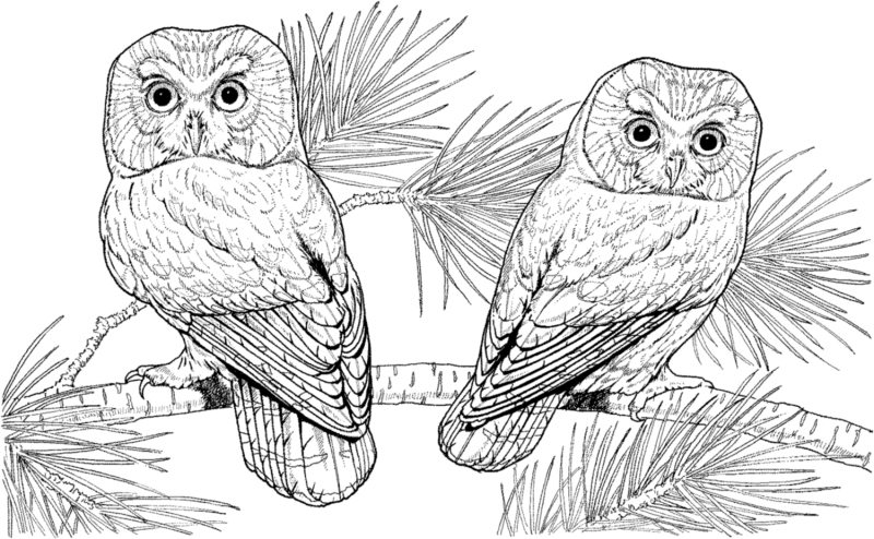 Saw Whet Owl coloring #10, Download drawings