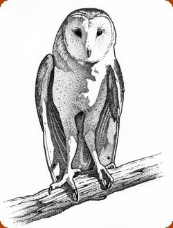 Barn Owl coloring #7, Download drawings