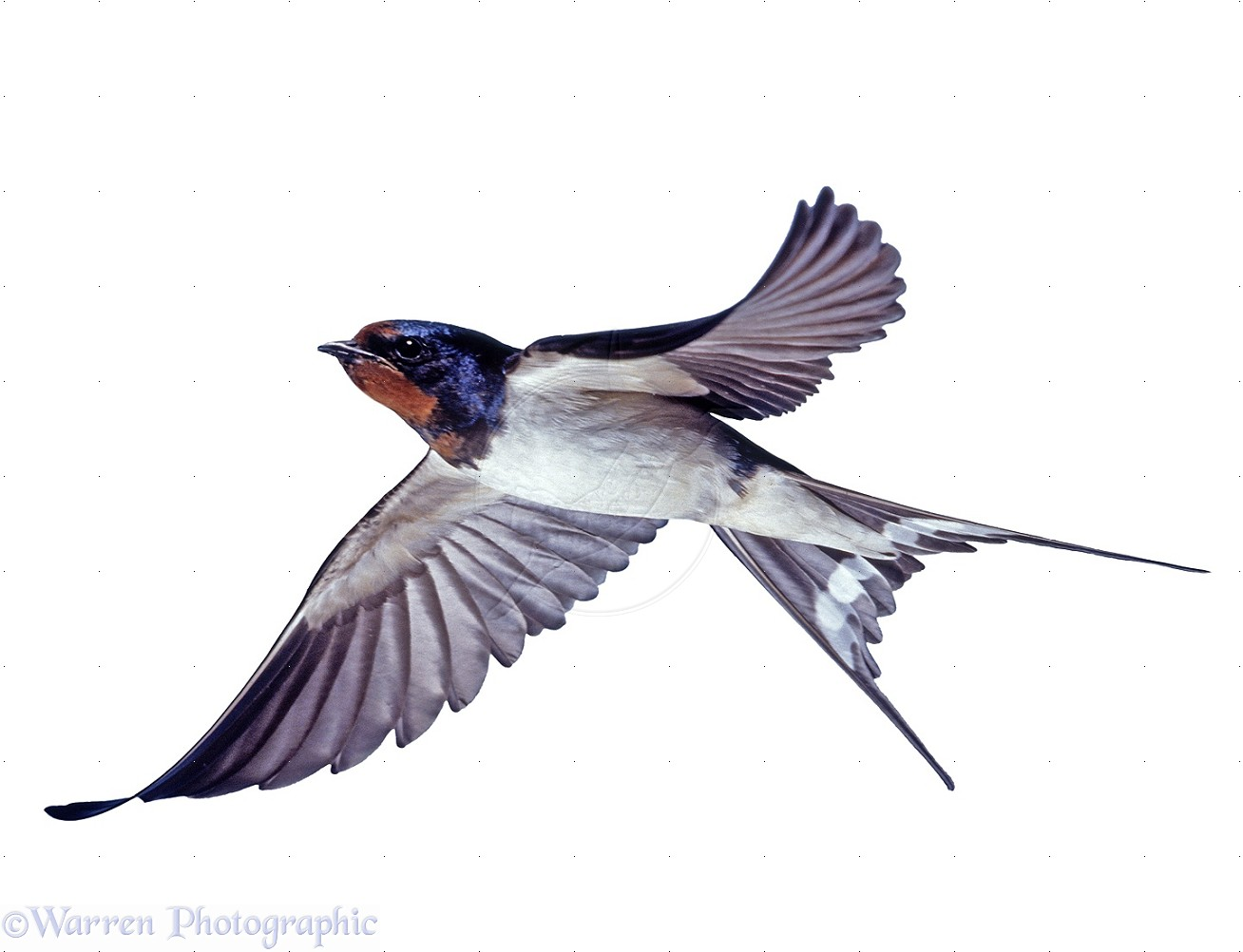 Barn Swallow clipart #5, Download drawings