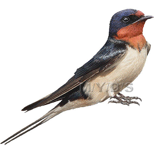 Barn Swallow clipart #12, Download drawings