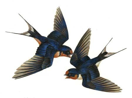 Barn Swallow clipart #8, Download drawings